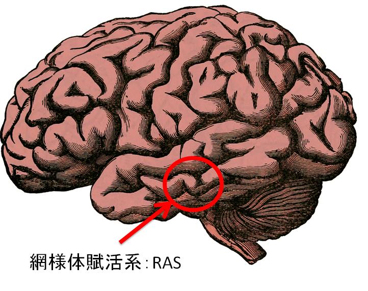網様体賦活系:RAS