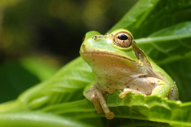 ゆで蛙、カエル