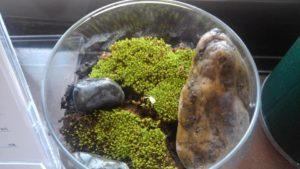 苔仙人のコケリウム