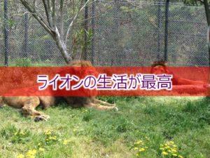 ライオンの生活が最高